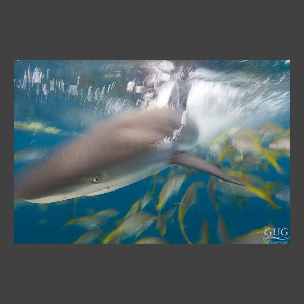 Shark In Motion