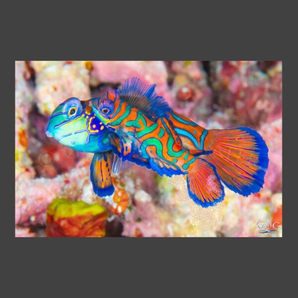 Mandarinfish Love 2